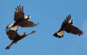 Trio-of-Carnabys-black-cockatoos-©-Dejan-Stojanovic/Birds-Australia