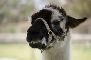 opening_pic_llama